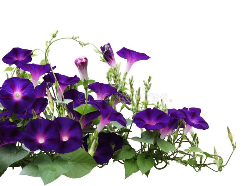 Morgon Glory Plant royaltyfri foto
