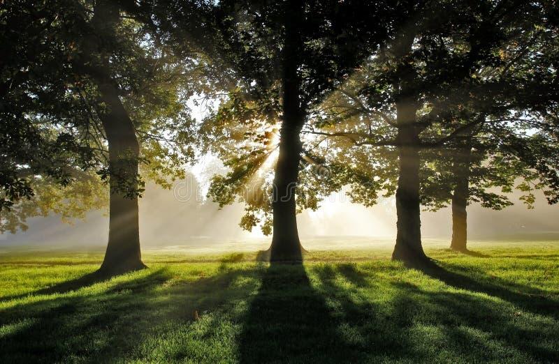 Morgon Misty Sun Rays till och med ekar arkivbilder