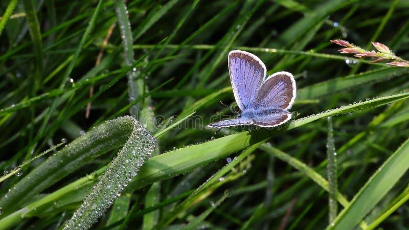Morgon- och fjärils- och vattendroppar 1 royaltyfri bild