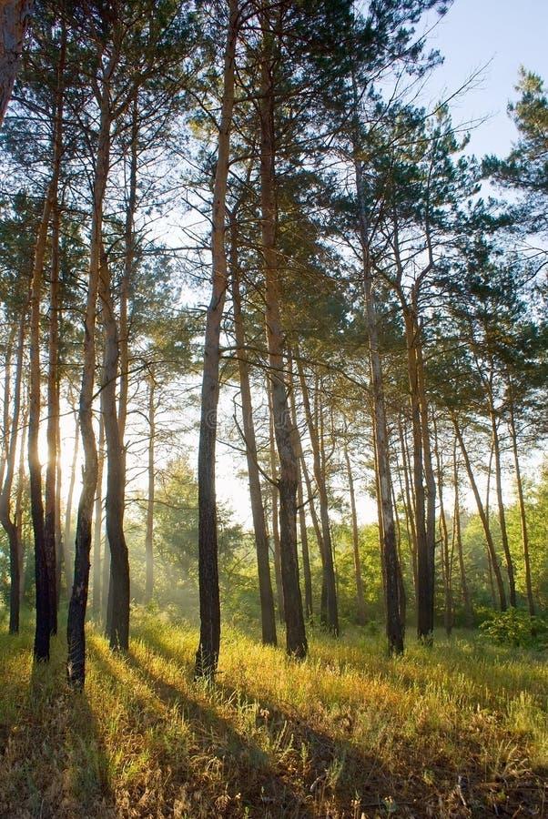 morgon sunlighted trän fotografering för bildbyråer