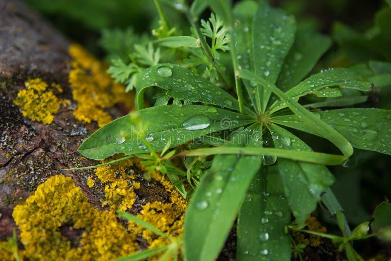 Morgondagg på ett stort grönt blad, djupfrysta droppar arkivbild