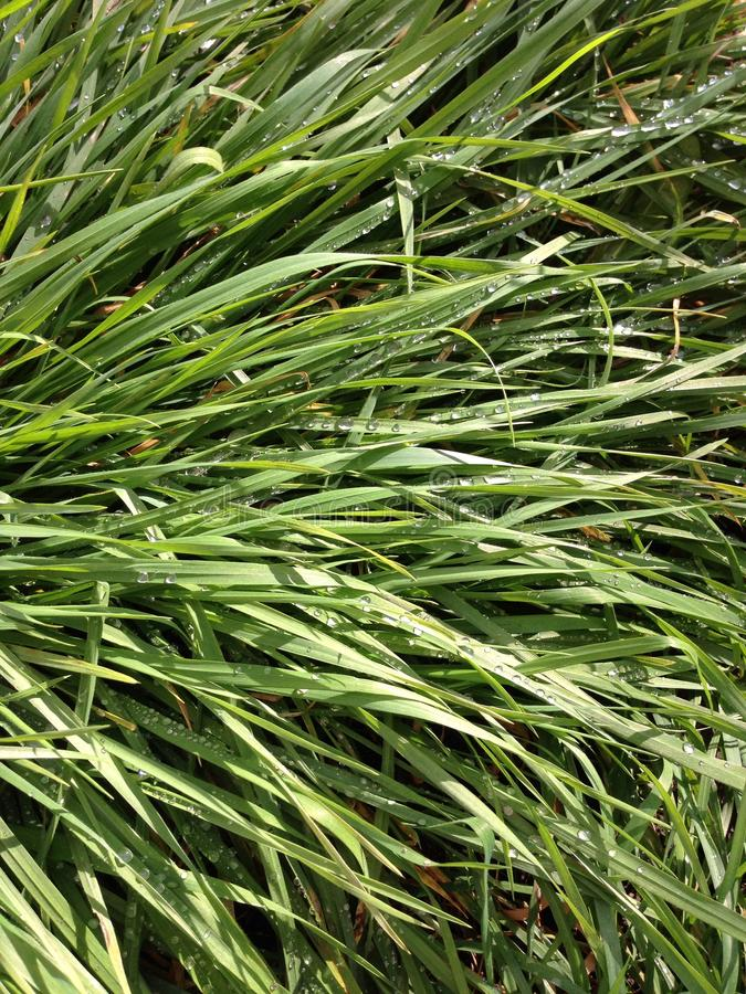 Morgondagg på gräset arkivbild