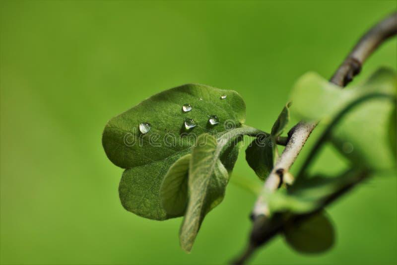 Morgondagg på leafen arkivbilder