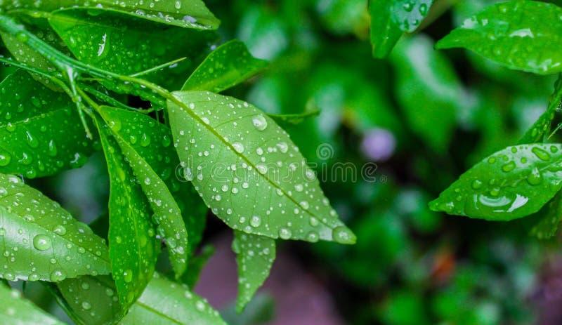 Morgondagg på limefruktsidor royaltyfria foton