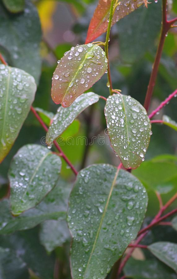 Morgondaggdroppar - vattenkondensation på växtsidor - naturlig bakgrund arkivfoto