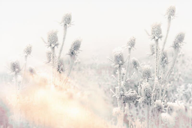 Morgondimma och frost i ängen - rimfrost på tistel royaltyfri fotografi