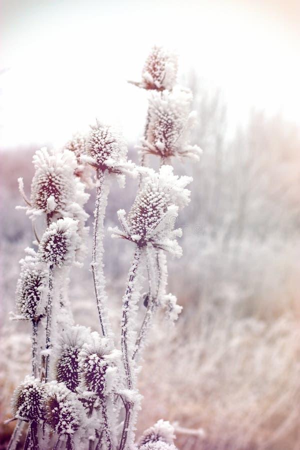 Morgondimma och frost i ängen - rimfrost på tistel - kardborre arkivfoto