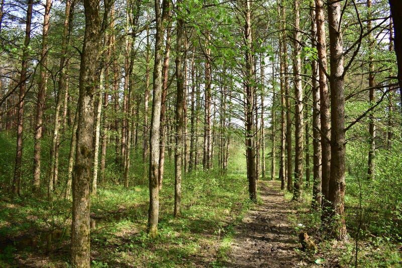 Morgonen i pinjeskog i sommartid i skogen är värde det verkligt nåden royaltyfri foto