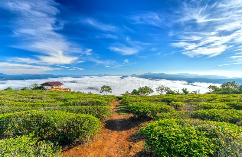 Morgonlandskapet på den planterade backen av te royaltyfria bilder