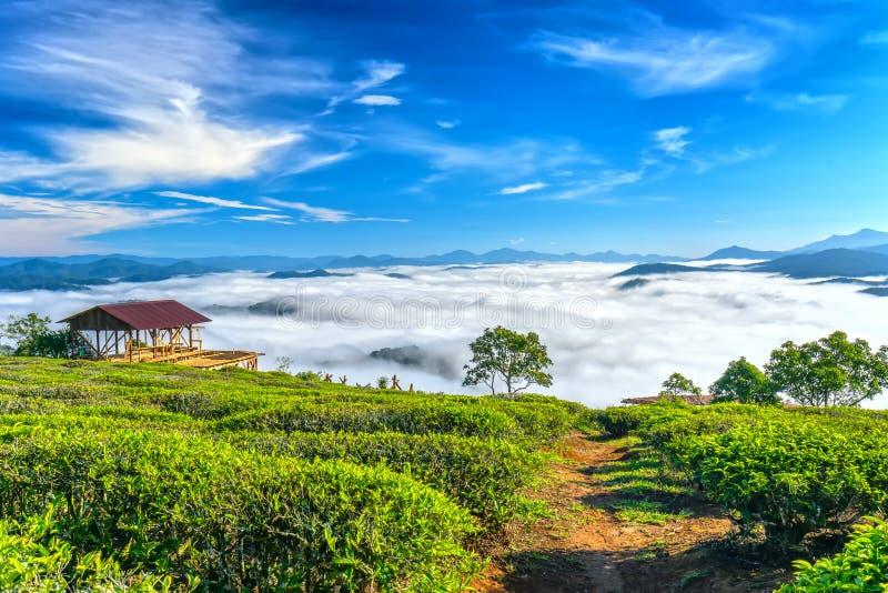 Morgonlandskapet på den planterade backen av te arkivbilder