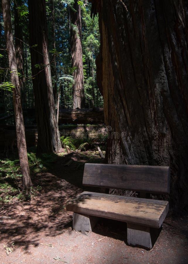 Morgonljus på en bänk, skog för Kalifornien redwoodträd fotografering för bildbyråer