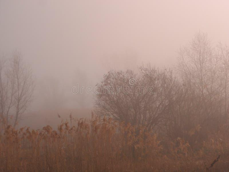 Morgonmist över träsket i vasserna bredvid skogen, ett träd i misten royaltyfria foton