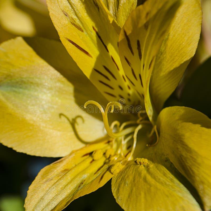 Morgonsol som upp tänder pistolen och ståndaren av en tillbaka tänd gul daglilja royaltyfri fotografi