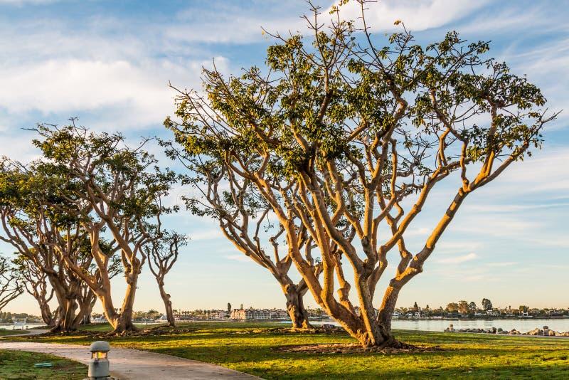 Morgonsolen på Coral Trees på Embarcadero parkerar arkivfoton