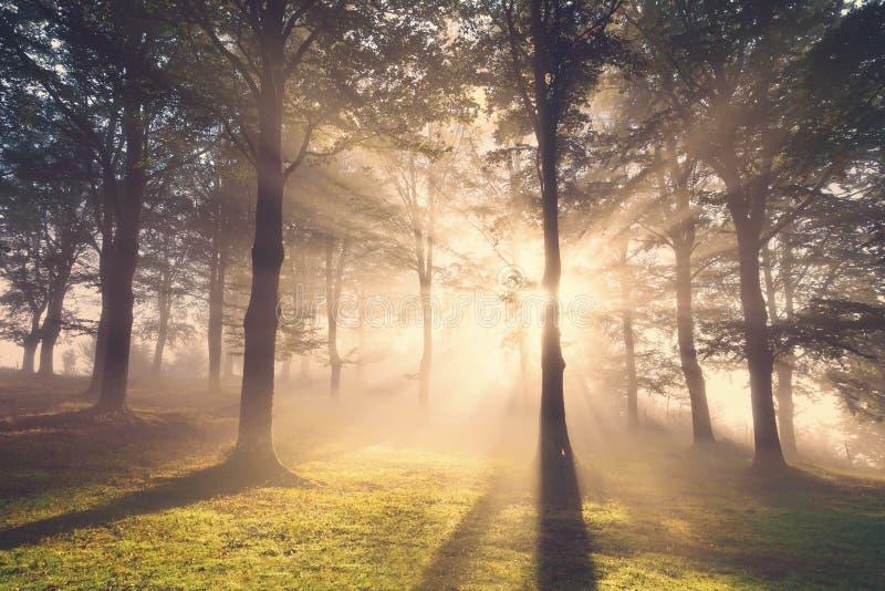 Morgonsolstrålar på skog royaltyfri foto