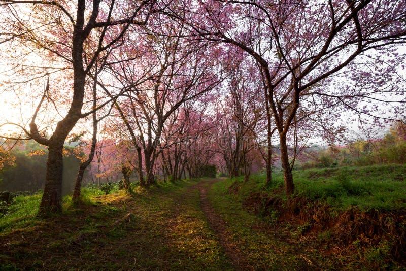 Morgonsoluppgång i rosa sakura blomstrar på grusvägen i chiangma arkivbilder