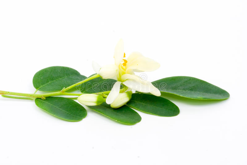 Moringa花和叶子  免版税库存图片