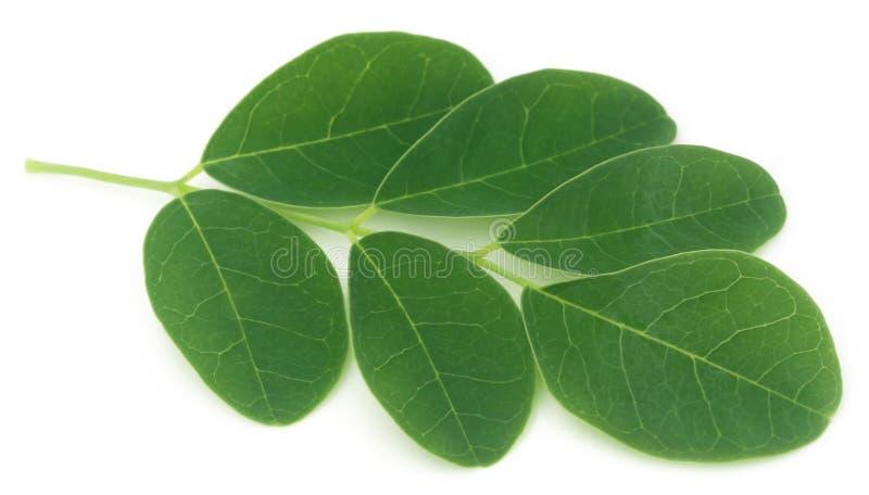 Moringa bladeren royalty-vrije stock foto's