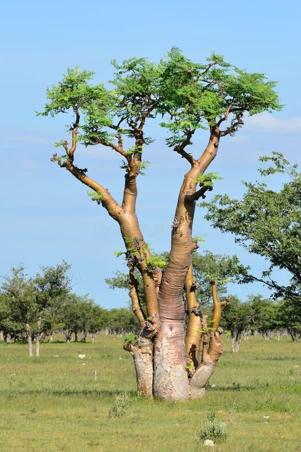 Moringa boom, Etosha, Namibië royalty-vrije stock afbeelding