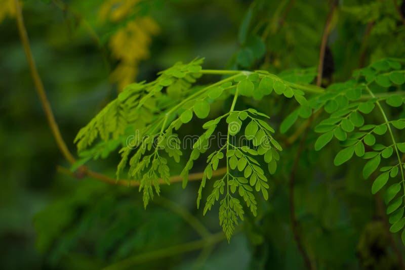 Moringa comestible laisse le fond dans le jardin photo libre de droits