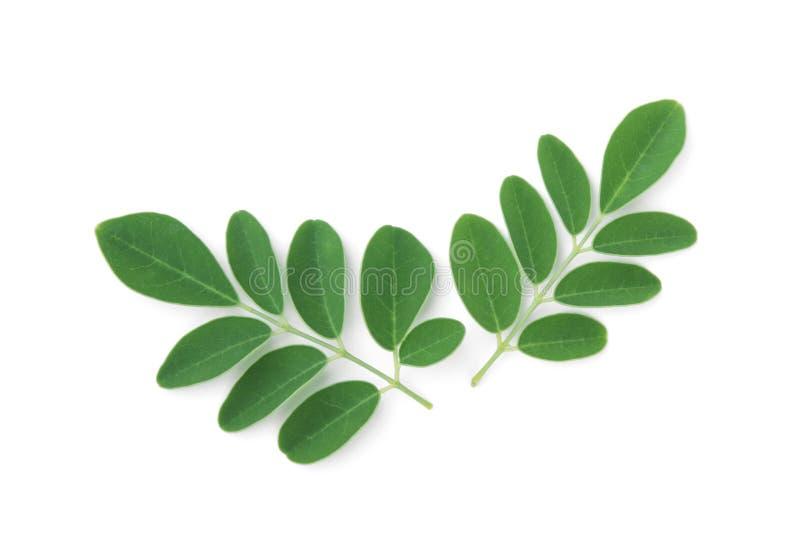 Moringa deja la hierba tropical aislada en blanco fotografía de archivo