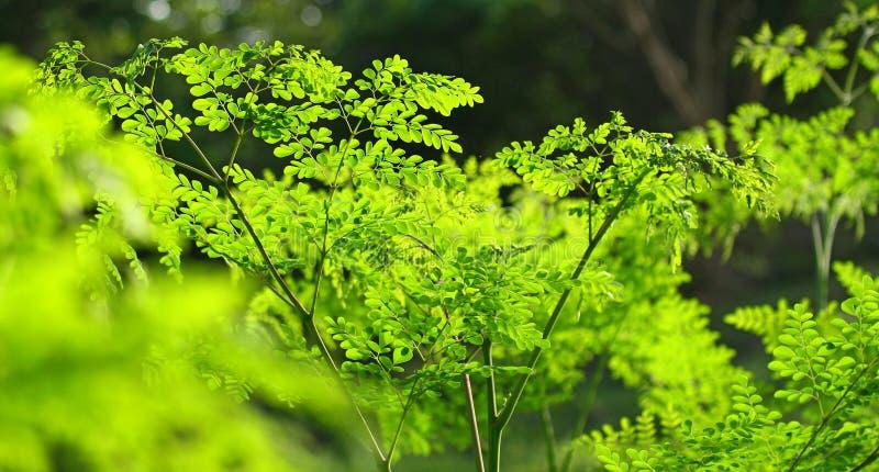 Moringa i solen som är malunggay royaltyfria foton
