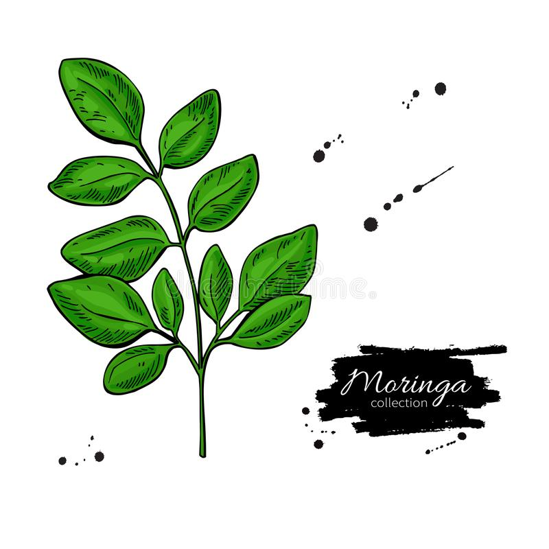 Moringa leaves. Vector superfood branch drawing. Isolated hand drawn illustration on white background. Organic healthy food. Great for banner, poster, label royalty free illustration