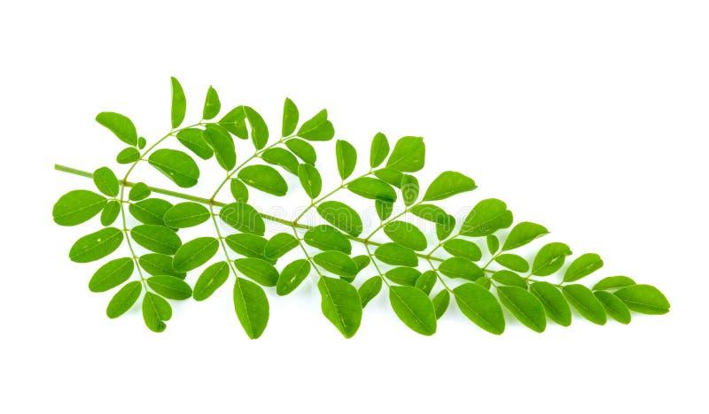 Moringa leaves stock images