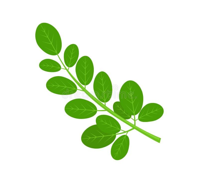Moringa liście i ilustracji
