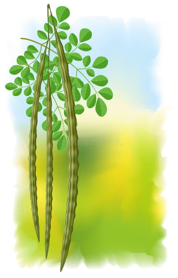 Moringa oleifera. ilustração do vetor