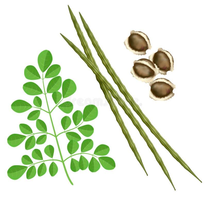 Moringa oleifera. Illustration on white background