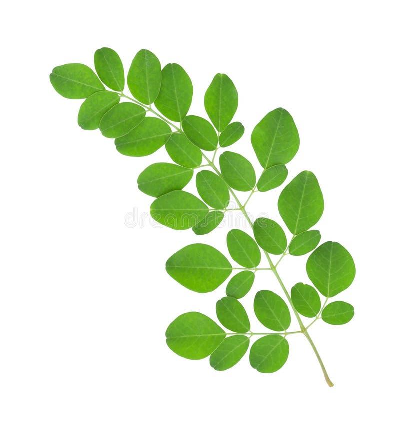 Moringa oleifera bladeren royalty-vrije stock fotografie