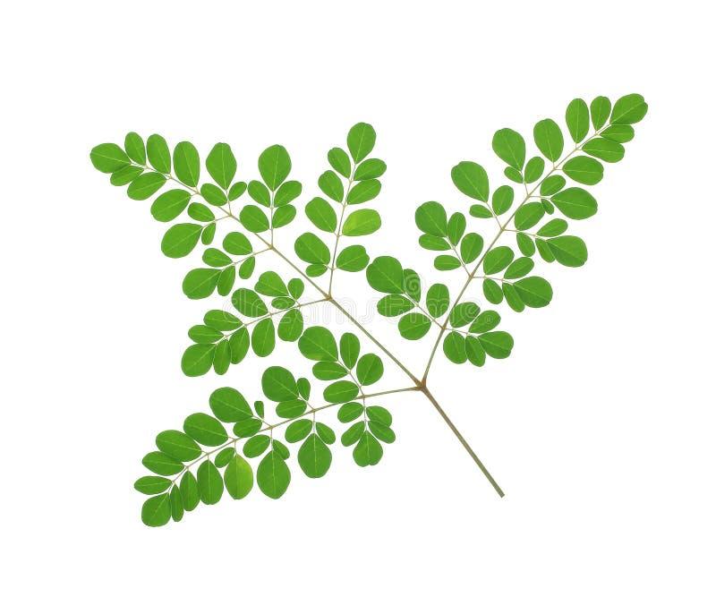 Moringa oleifera bladeren op witte achtergrond worden geïsoleerd die stock foto