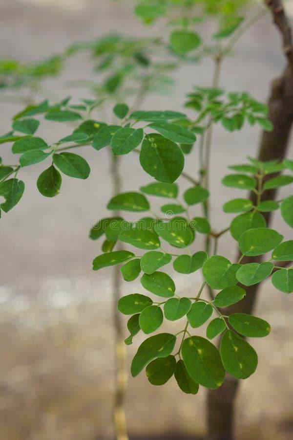 Moringa oleifera conhecida como a árvore da vara do cilindro fotografia de stock