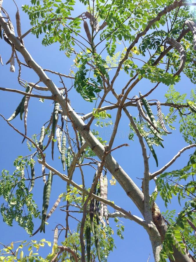 Moringa Oleifera drzewo z Wiesza Seedpods dorośnięciem w Jaskrawym świetle słonecznym (Drumstick) obrazy stock