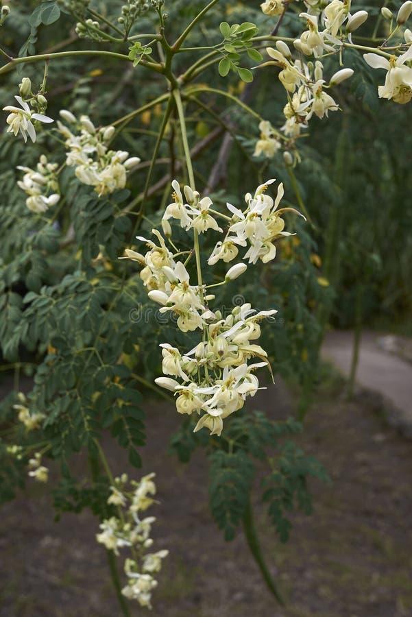 Moringa oleifera filial med den vita gula blomman arkivbilder