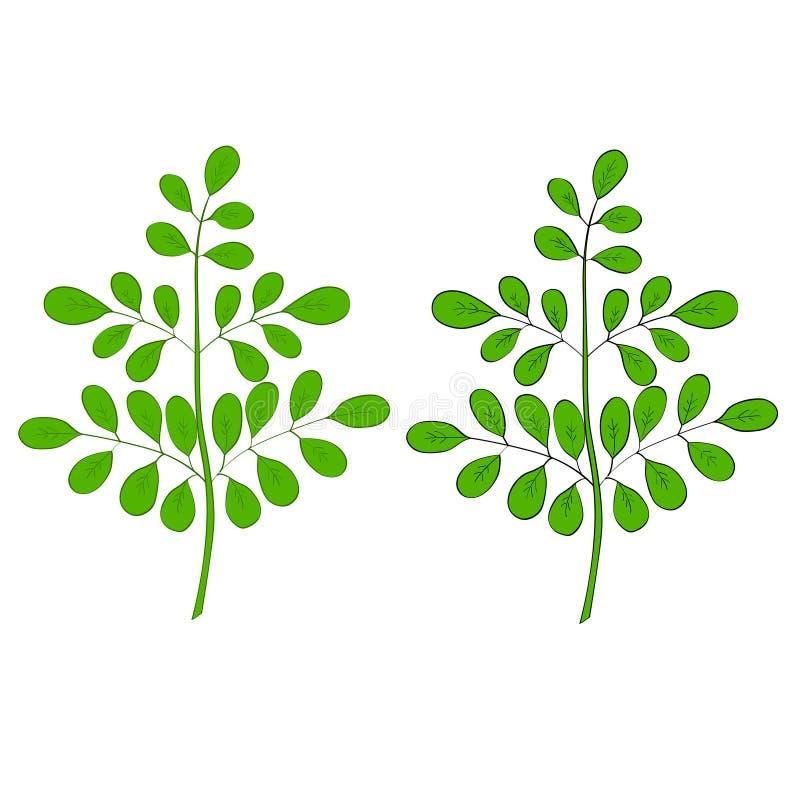 Moringa oleifera in kleur royalty-vrije illustratie