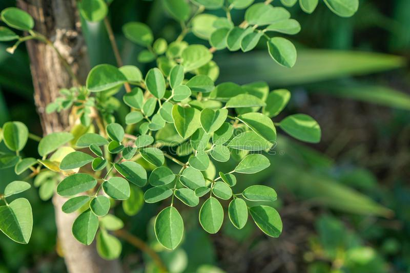 Moringa Oleifera known as the drum stick tree. Is an amazing tree, almost all its parts can be used as food or medicine, especially the leaves royalty free stock photos