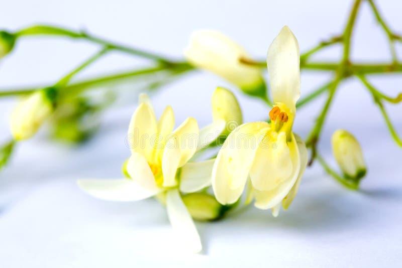 Moringa oleifera kwiat i liście obraz royalty free
