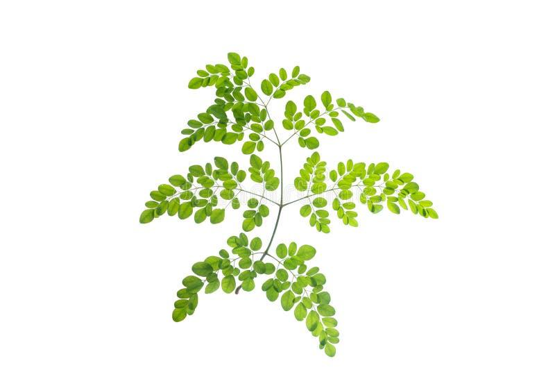 (Moringa oleifera Lam ), bladform och textur royaltyfri foto
