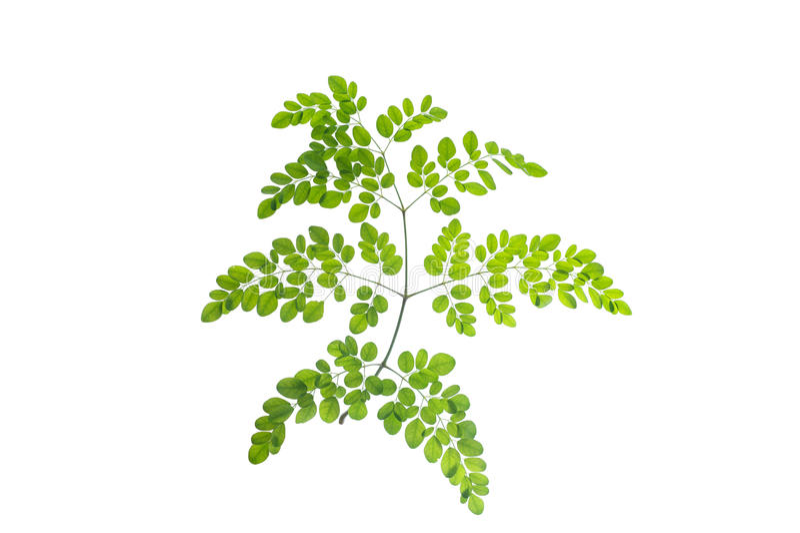(Moringa oleifera Lam ), bladvorm en textuur royalty-vrije stock foto