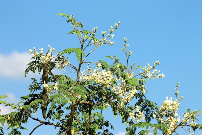 Moringa oleifera met bloemen en fruit stock fotografie