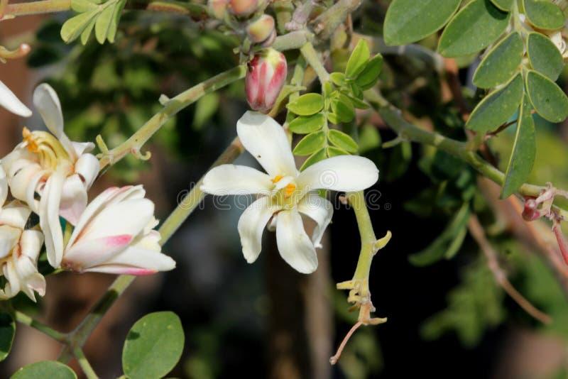 Moringa oleifera, Moringa, albero di bacchetta fotografia stock libera da diritti