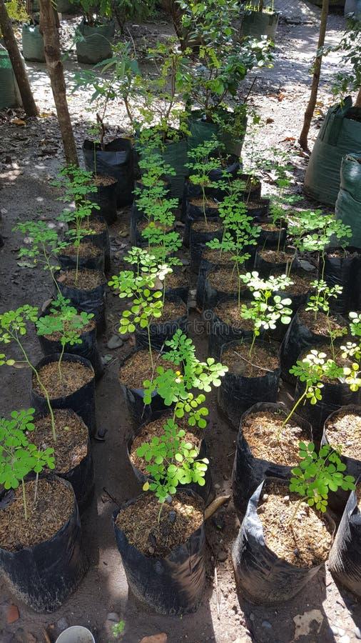 Moringa Nutritional Plant - Moringa Oleifera Stock Image