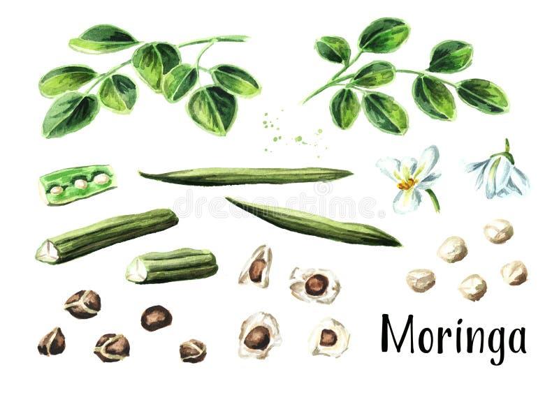 Moringa plant set. Watercolor hand drawn illustration, isolated on white background. Moringa plant set. Watercolor hand drawn illustration, isolated on white stock photos