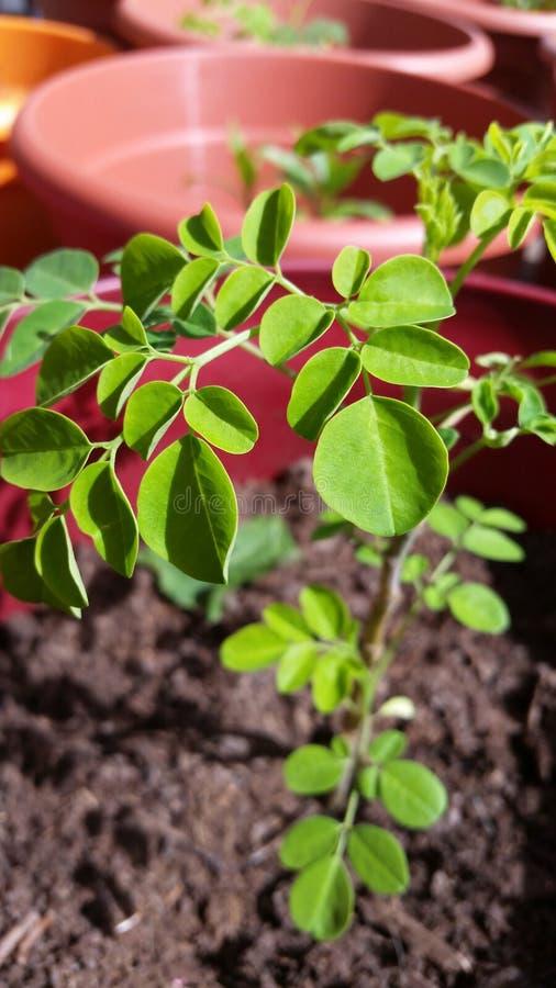Moringa roślina fotografia royalty free