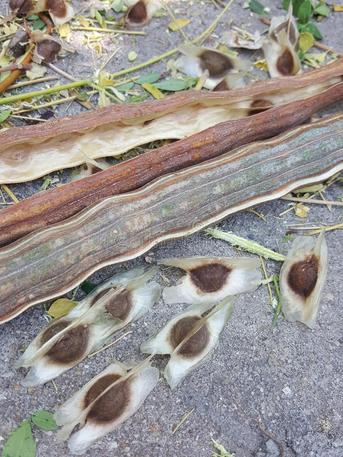 Moringa seed has thin cellophane like triangle,Brown circle in the middle. stock image