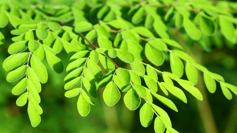 Moringa in the sun, malunggay royalty free stock images