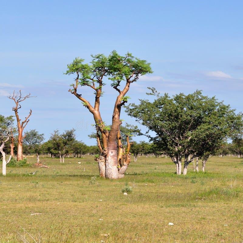 Moringa träd royaltyfria foton