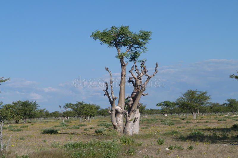Moringa tree. This bulbous moringa tree is part of the so called haunted forest. Photographed in Etosha National Park royalty free stock photography